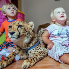 Toddlers Live With Rescued Cheetahs